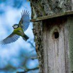 Blåmesen breder ut sina vingar