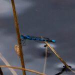 Mermaid dragonfly